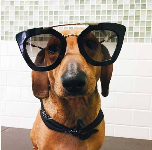 dachsund-sunglasses