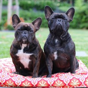 cocoandleothefrenchies
