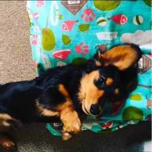 bongo_dachshund_dog
